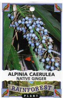 Alpinia Caerulea Native Ginger