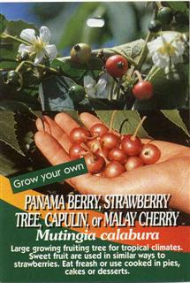 Panama Berry, Strawberry Tree, Capulin, or Malay Cherry Mutingia calabura