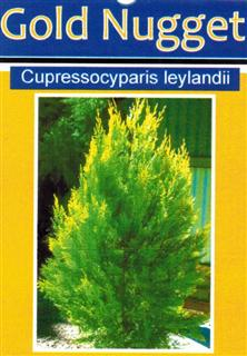 Conifer-Gold-Nugget-Cupressocyparis-leylandii