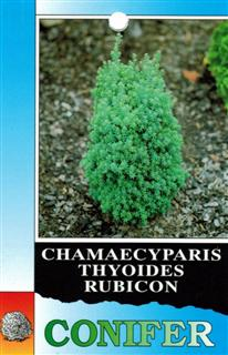 Conifer Rubicon - Chamaecyparis Thyoides