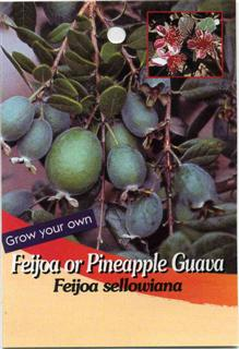 Feijoa or Pineapple Guava Feijoa sellowina