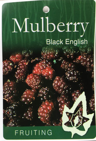 Mulberry Black English Fruiting Tree