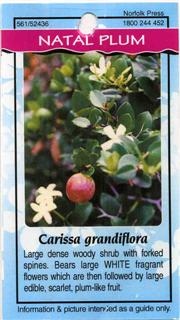 Natal Plum Carissa grandiflora Large dense woody shrub with forked spines