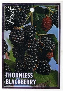 Thornless Blackberry - Rubus canadensis