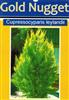 Conifer Cupressocyparis leylandii GOLDEN NUGGET