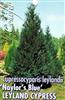 Conifer Cupressocyparis leylandii NAYLORS BLUE